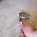 Tortuga facha