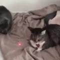 E os felinos enlouquecem ao verem o laser e você fica chateado ao recordar que otacufurrybronys brigam assim por girombas