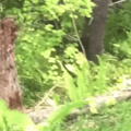 don't ever climb a tree for safety when chased by a bear
