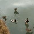 Ducks! On ice!