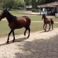 Silly walkin pone