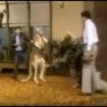 Canguru boxel!