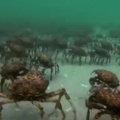 The crabs go marching one by one hura